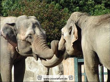 Asiatische Elefanten im Zoo Krefeld