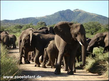 Eine Herde wilder afrikanischer Elefanten
